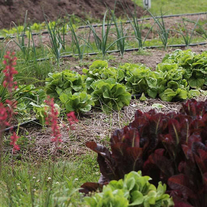 Lettuce-Rows