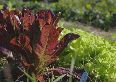 Organing-Lettuce