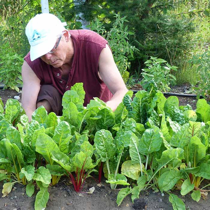 Weeding-Lettuce